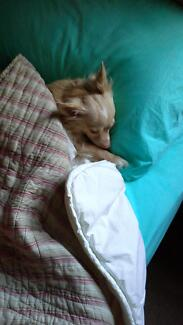 Long haired chihuahua Parrearra Maroochydore Area Preview
