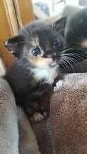 Baby kittens for sale Punchbowl Canterbury Area Preview