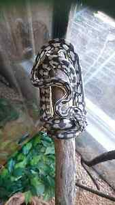 Black and white jungle python + enclosure Mackay Mackay City Preview