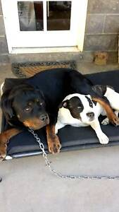 Wanted female Rottweiler