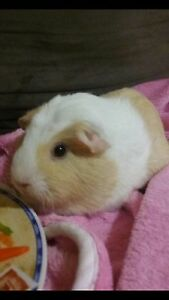 BABY GUINEA PIGS  due on the 19th! Mudgeeraba Gold Coast South Preview