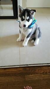 3Month old Male Siberian husky