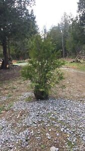 Cedar Trees - Deliver and Planting Available