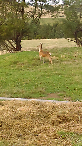 Red hind for sale Poowong South Gippsland Preview