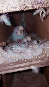Breeding pair budgies Midland Swan Area Preview