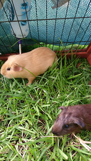 Pair male guinea pigs. Baby and young adult.