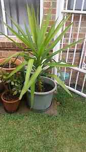 Yucca Plant for Sale Casula Liverpool Area Preview