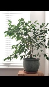 Weeping Ficus Indoor Plant