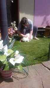 Large new zealand white female rabbit Salisbury Heights Salisbury Area Preview