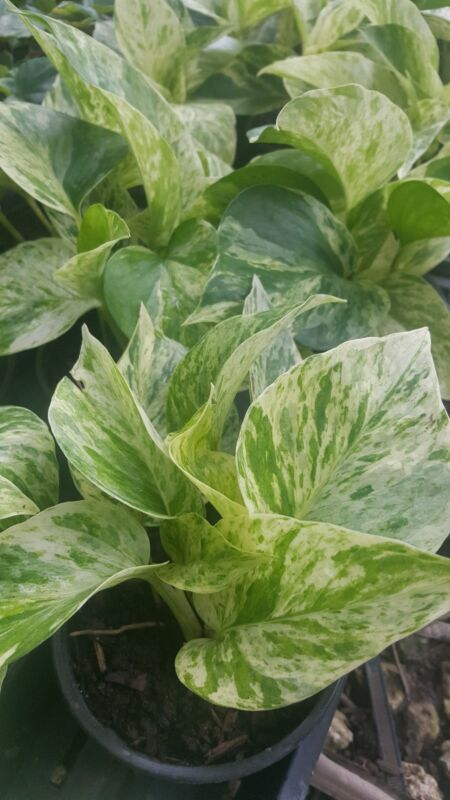 """Marble Queen Pothos 4 Leaves in 4"""" Pots Easy Tropical Indoors/Outdoors plants"""