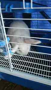 16 week old Rabbit and new hutch Lake Haven Wyong Area Preview