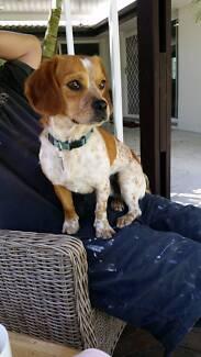 King Charles Cavalier x Terrier