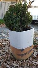 Pot Plant with English Box O'Connor North Canberra Preview