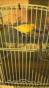 male singing canary yellow with cage & accessories Millfield Cessnock Area Preview