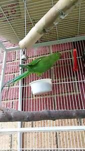 Ringneck parrots Lynbrook Casey Area Preview