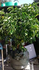Mature mandarin Bellevue Swan Area Preview