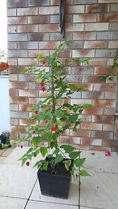 $75 lantern flower Coombabah Gold Coast North Preview