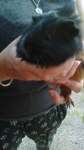 Cute baby guinea pig Mount Druitt Blacktown Area Preview