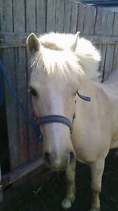 Palomino Welsh pony 11hh rising 7yo Tenterfield Tenterfield Area Preview