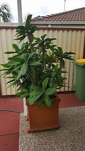 Square terracotta pot plant St Johns Park Fairfield Area Preview