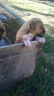 Amstaff puppys