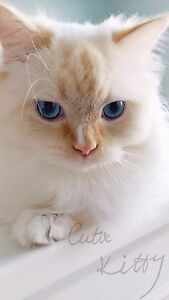ragdoll cat male
