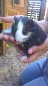 Female baby guinea pigs Raymond Terrace Port Stephens Area Preview