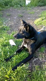 16month old kelpie dog Inverell Area Preview
