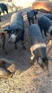 Pig pigs piglet's Quambone Coonamble Area Preview