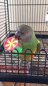 Tame Senegal parrot Kurunjang Melton Area Preview