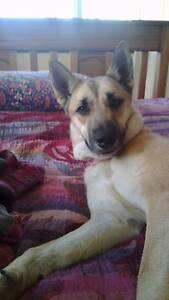 beautiful german shepherd x husky female North Ward Townsville City Preview