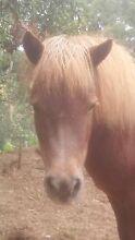 Small Registered Shetland Mare! Super Kids Pony!! Monbulk Yarra Ranges Preview