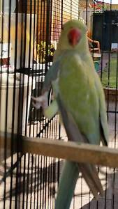 indian ringneck Murdoch Melville Area Preview