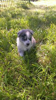 Border Collie x Koolie puppy for sale Greater Hume Area Preview