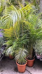 Golden cane palm tropical grower direct cheap Nedlands Nedlands Area Preview