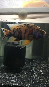 OB peacock male Dragon blood male for sell