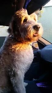 **FOUND DOG** Reynella Morphett Vale Area Preview