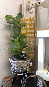 "Fiddle Leaf Fig ""Ficus Lyrata"" Woody Point Redcliffe Area Preview"