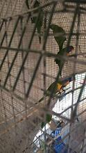 lorikeets ($40 for 1) ($70 for a pair) Clayton South Kingston Area Preview