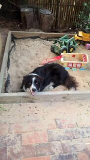 Male Border Collie In Need of Forever Home