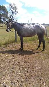 Registered Appy Mare 3 years Warwick Southern Downs Preview
