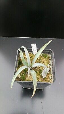 Yucca Baccata 'LZ 2072 Arizona'
