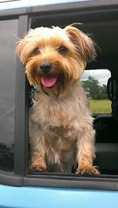Silky Terrier female 4 sale to good home/dog supplies 4 sale TVL Townsville City Preview