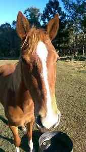 Horses for quick sale Sharon Bundaberg Surrounds Preview