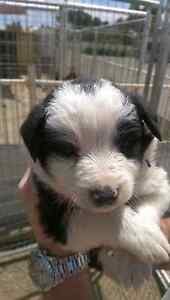 Two pure bred border collies Two Wells Mallala Area Preview