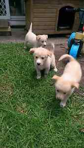 Alaskan malamute X border collie pups for sale Kanwal Wyong Area Preview