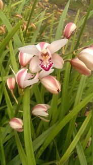 Cymbidium orchids stems Soldiers Point Port Stephens Area Preview