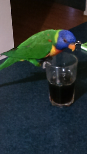Lost my lorikeet in kuranjang Toolern Vale Melton Area Preview