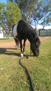 Pinto pony mare for swap of kids pony or well handled horse Inglewood Goondiwindi Area Preview
