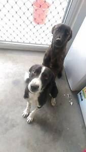 2 pups to rehome - free to good home! Mount Low Townsville Surrounds Preview